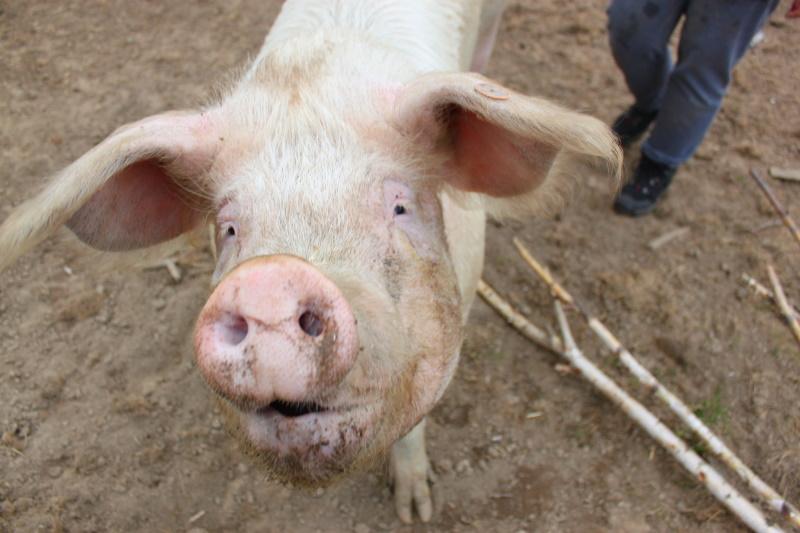 Azyl dla świń Gieniutkowo